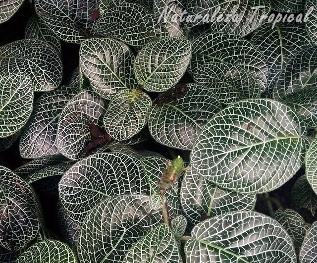 Fitonia, género Fittonia
