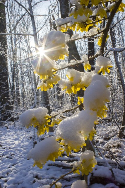 Forsythia after a spring snow storm in Tennessee