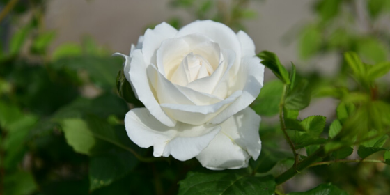 Rose plant not blooming: 5 reasons to look out for