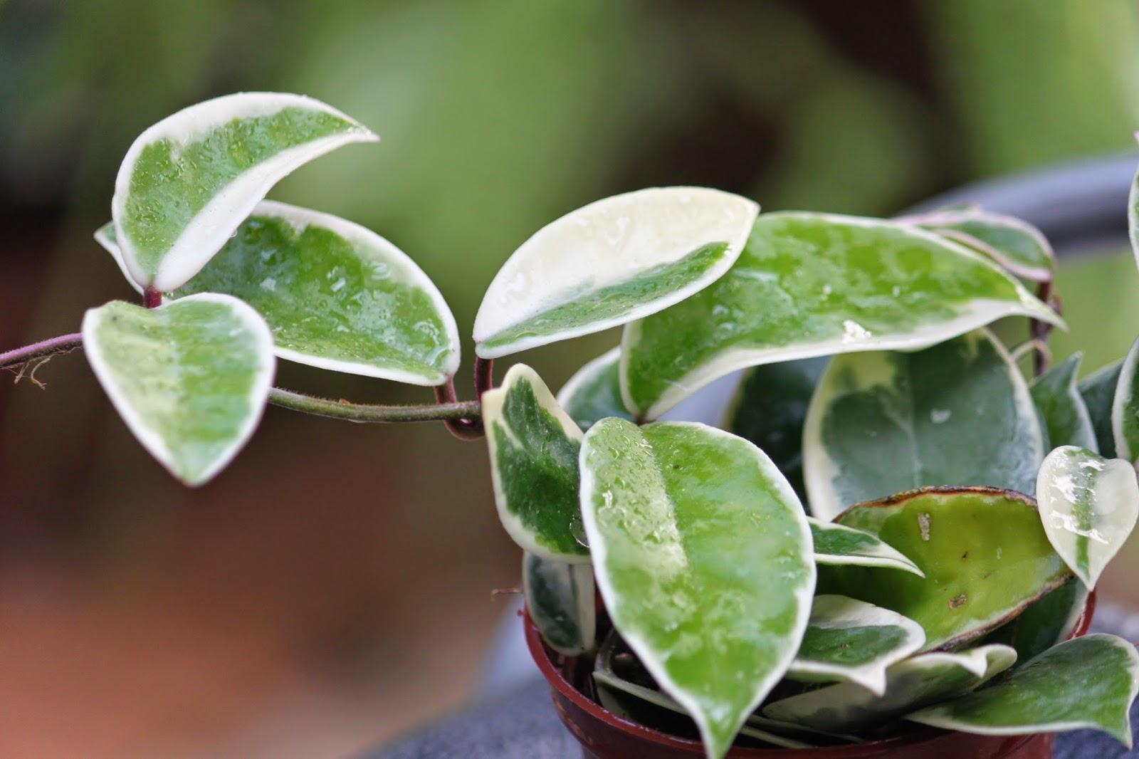 Snow的綠色世界: 斑葉毯蘭