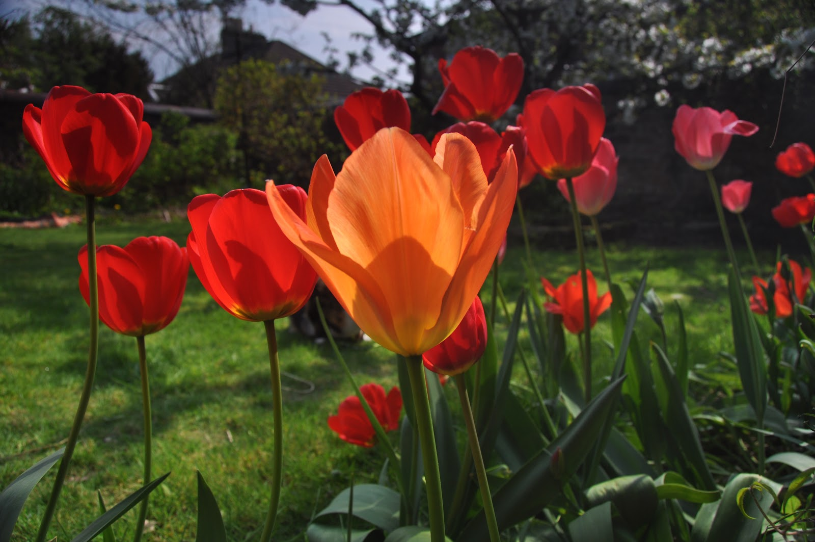 Judith I Bridgland Beautiful Tulips