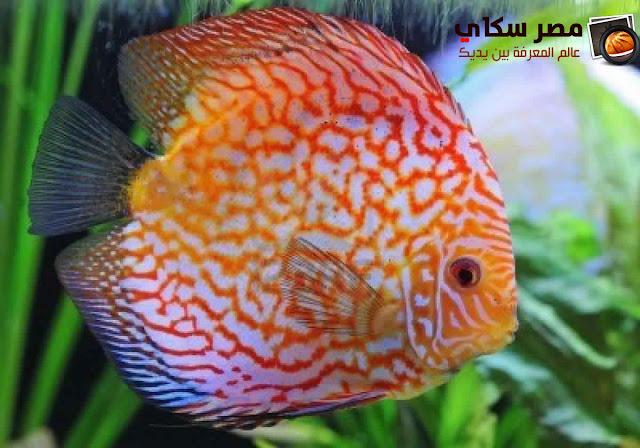 أهم أنواع أسماك الزينة التى يمكن تربيتها بالأحواض بالصور types of Ornamental fish