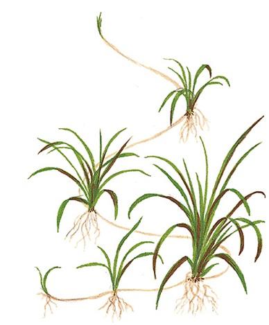 Cây cỏ đỏ sẽ sinh cây con trong hồ thủy sinh