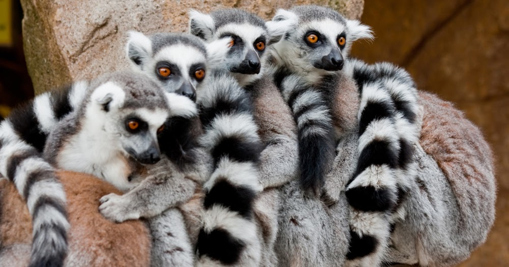 lemurs in madagascar surviving on an A look at the life of wild lemurs living in madagascar the movieclips trailers channel is your destination for the hottest new trailers the second they drop.