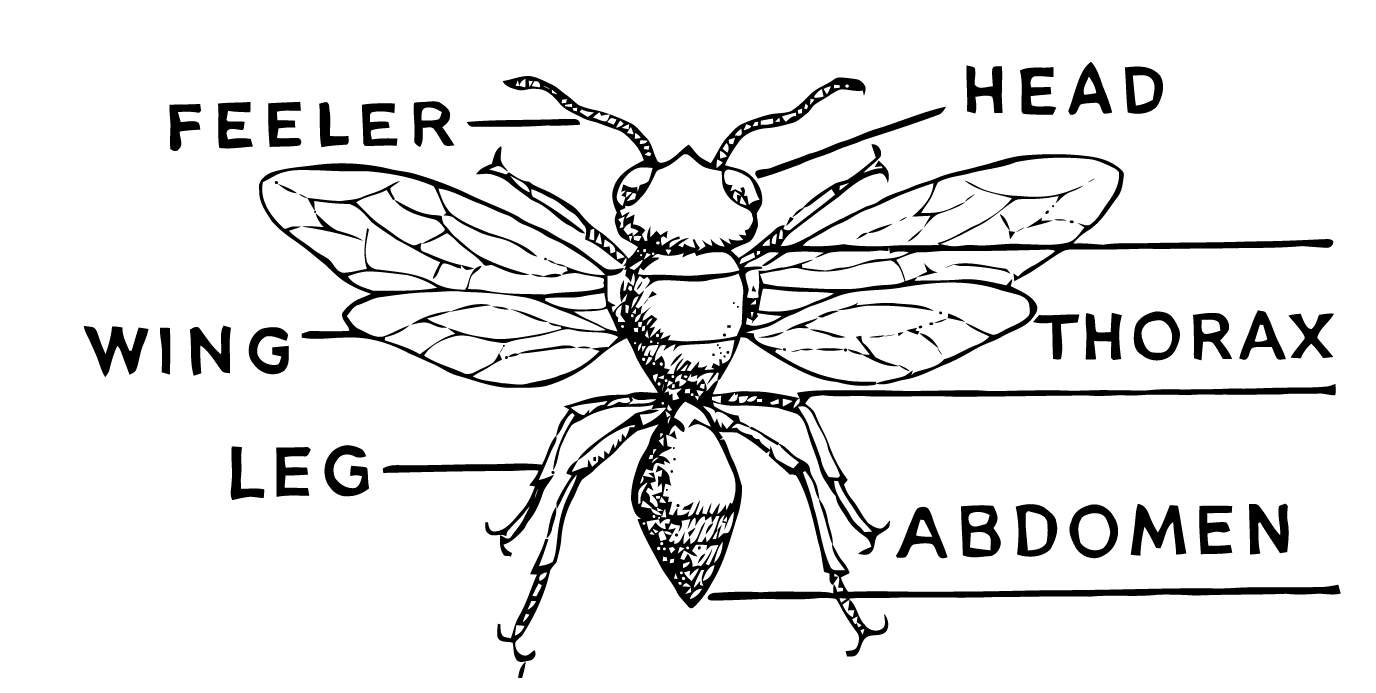 Ephemeraphilia: Free Vector Art: Insect Diagram