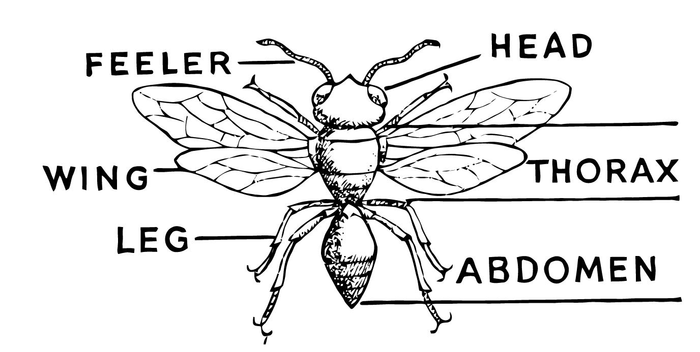 Ephemeraphilia: Free Vector Art: Insect Diagram