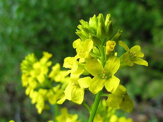 Gorczycznik pospolity (Barbarea vulgaris).
