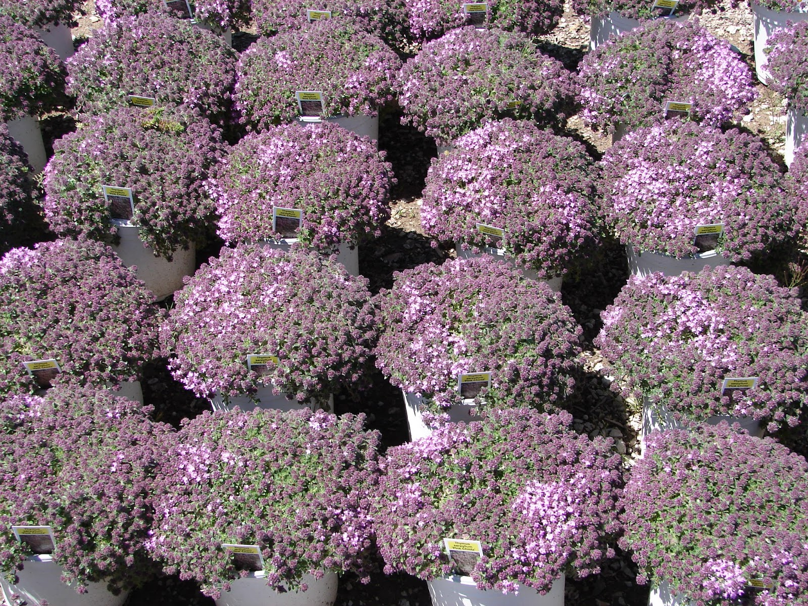 Nurseries in salt lake city - Thyme Ground Cover For Sale At Deseret Nursery Perennial Farm Salt Lake City Utah