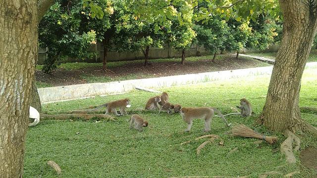 Wow ! Banyak Monyet, Lokasi Ini Jadi Hiburan Warga Kota Medan