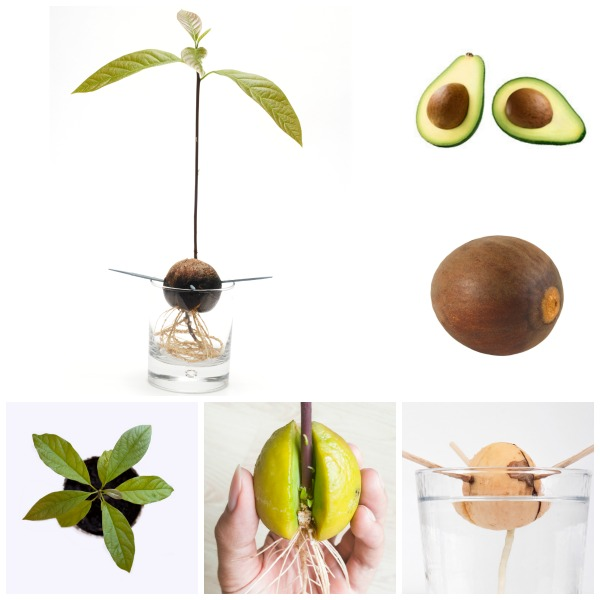 FUN SCIENCE:  Grow an avocado tree using the pit