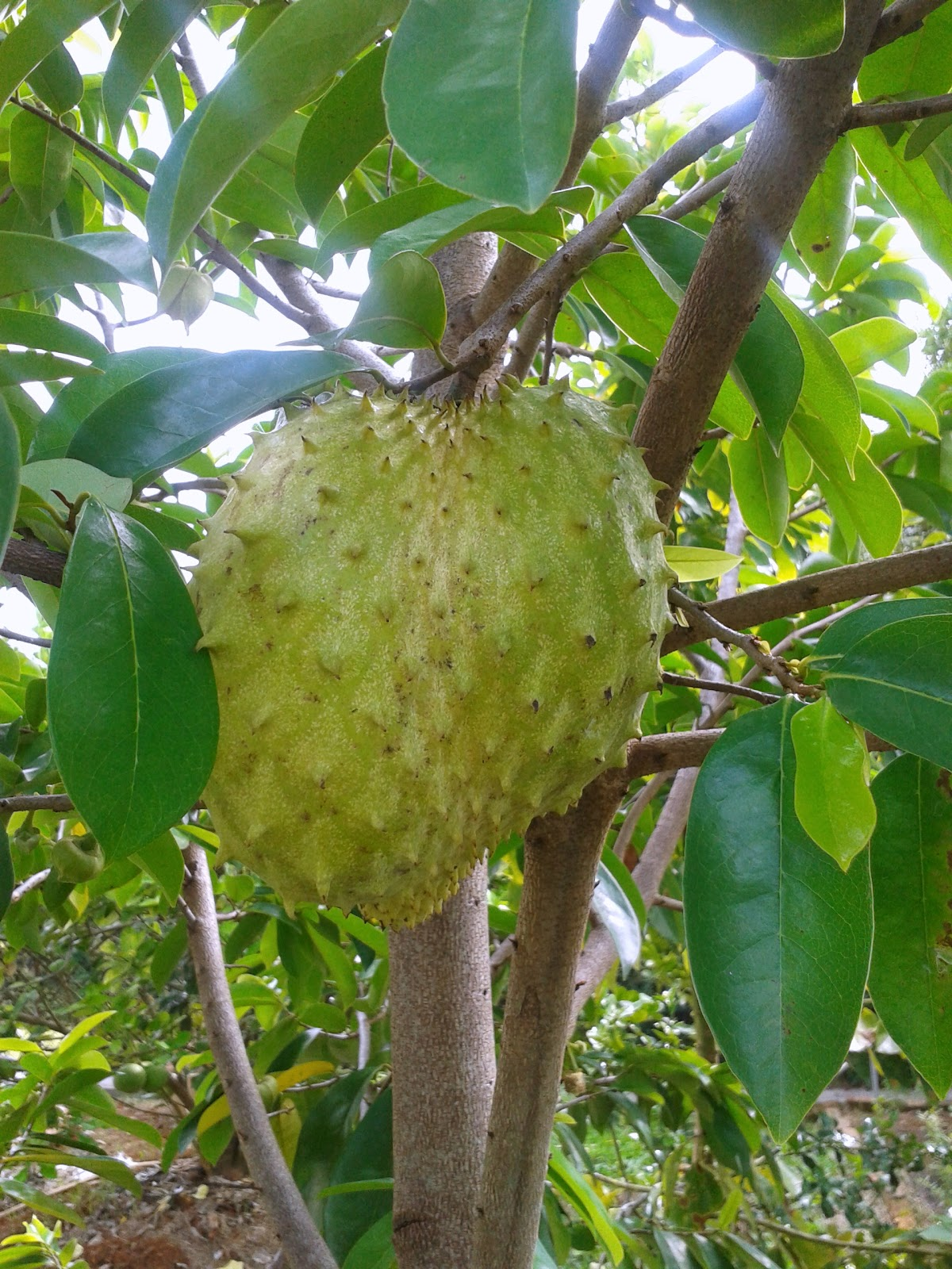 SOURSOP ~ THIRST QUENCHER & CANCER FIGHTER? | The ...  |Guyabano Tree