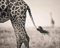 Wildlife Photographer of the Year giraffa