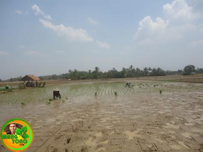Menanam padi dengan maju