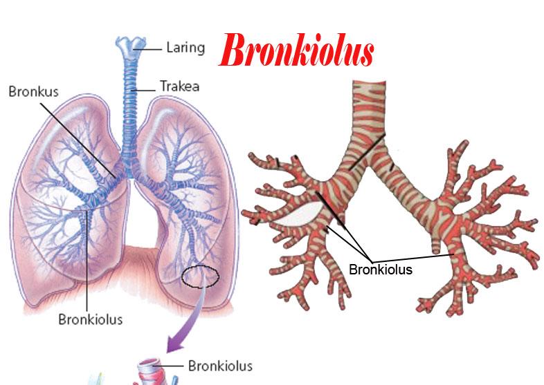 Bronkioli