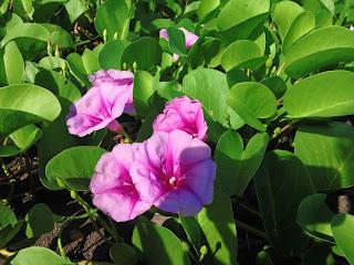 Ipomoea Pes-caprae Flower Plants