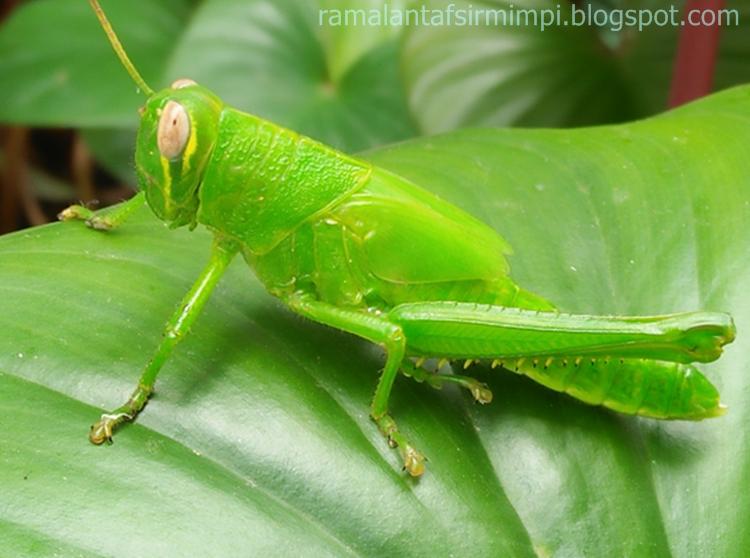 Belalang adalah merupakan hewan serangga yang sering dikelompokkan kedalam hewan yang her 14 Arti Mimpi Lihat Orang Makan Belalang Menurut Primbon Jawa