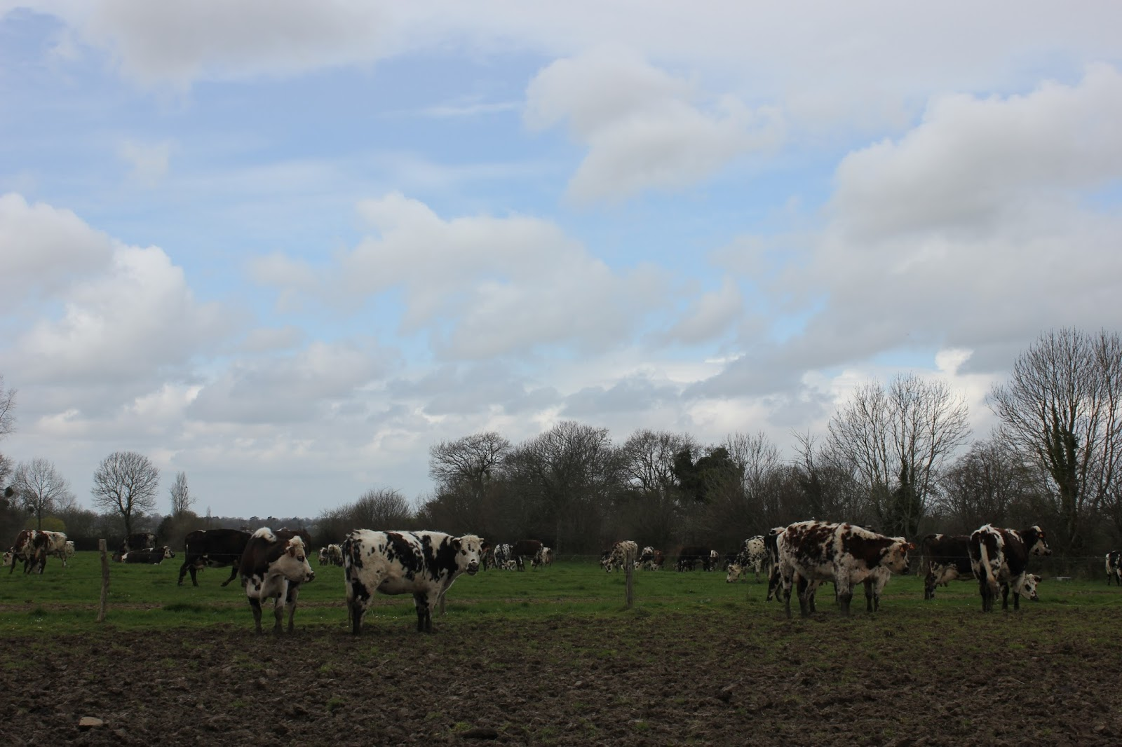 Rare breed organic Normandy cows