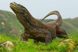 Apakah Komodo Termasuk Dinosaurus?