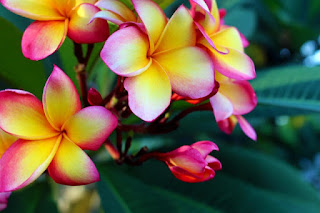 Bunga kamboja merah paling harum