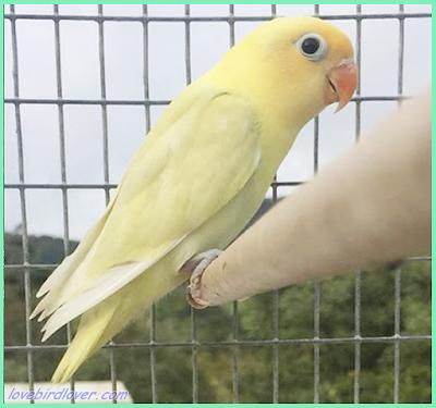 sambil makan ubi dan nyruput teh hangat Tips Mencetak Burung Glamor Dengan Modal Parblue Pastel