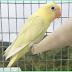 Tips Mencetak Burung Mewah Dengan Modal Parblue Pastel