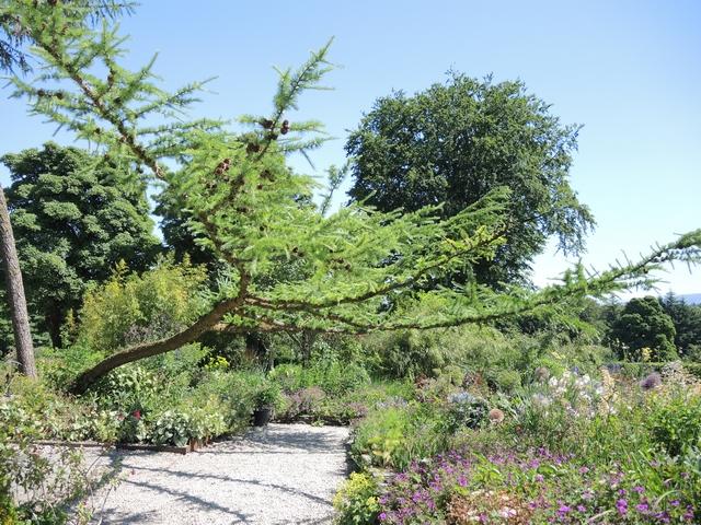 Horizontalgewachsene Lärche in June Blake's Garden