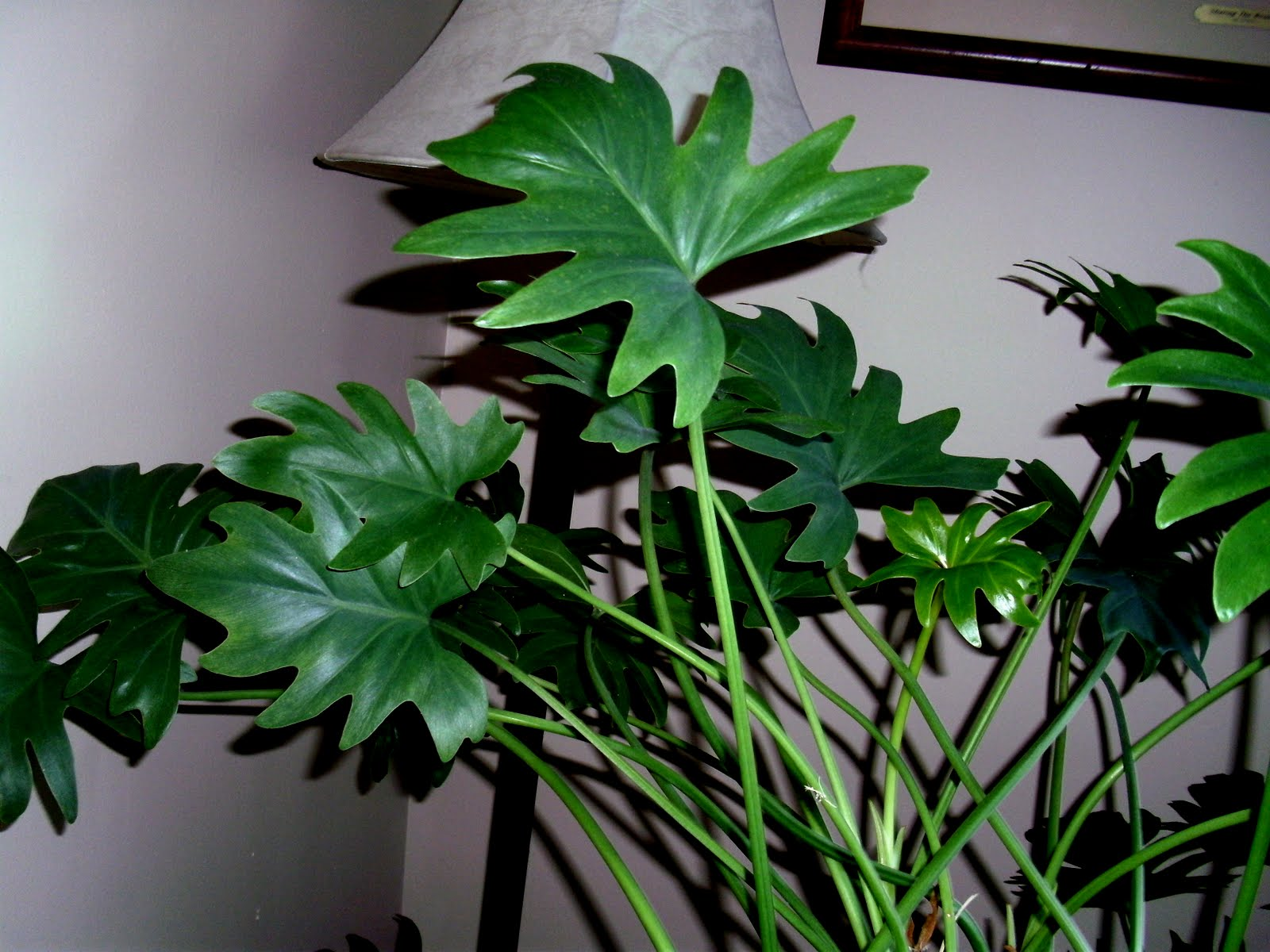 Tall Indoor Plants With Big Leaves Making Home For The Love Of Plants