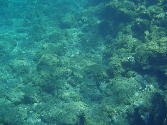 Goldstrieme - Sarpa salpa (Dorade) © Canarian Sea 02