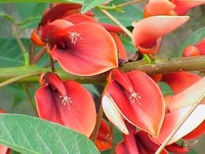 Leyenda de la flor del ceibo