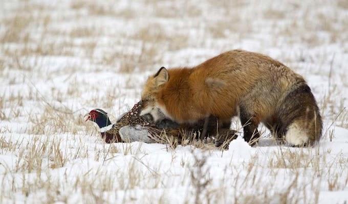 Osho - Cáo giết gà có phải là xấu xa không?