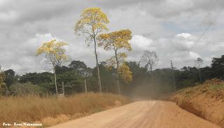 lindos ipês amarelos - Altamira- Pará Brasil