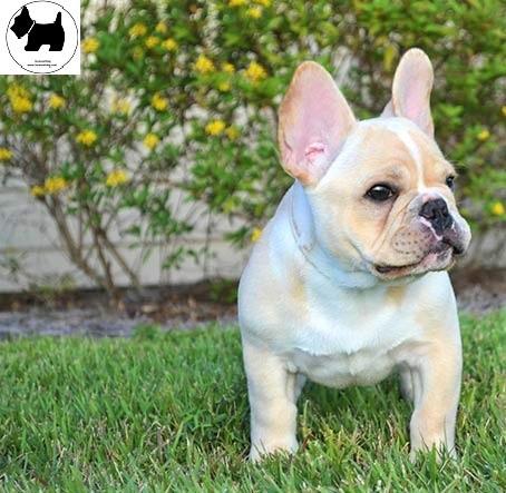 Cutest Dog Breeds, Best Dog, French Bulldog Dog