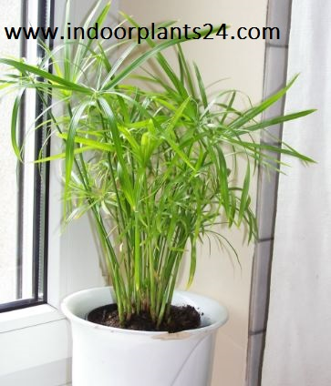 Davaillia Fejeensis indoor plant potted photo