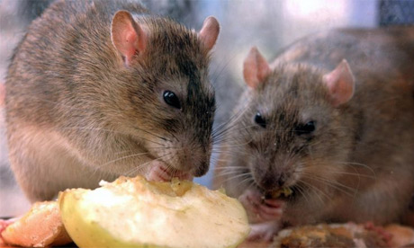 New York budgets $32 million to fight rats | Nigerian News
