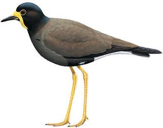 Salah satu burung yang di lindingi oleh pemerintah dan apabila kita memelihara tanpa meng Kabar Terbaru- MENGENAL BURUNG TRULEK JAWA