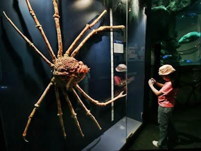 Terekam, Kepiting Terbesar Di Dunia Ini Sedang Berganti Cangkang