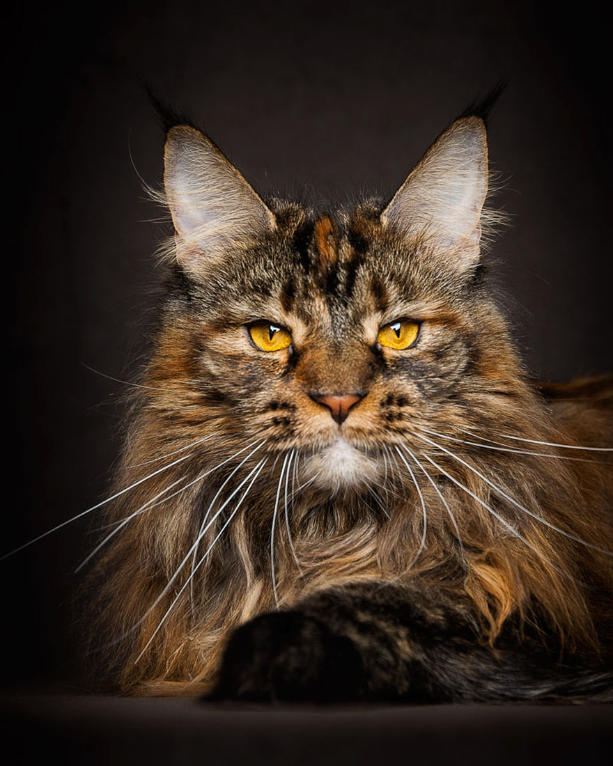 65 Breathtaking Pictures Of Maine Coons, The Largest Cats In The World