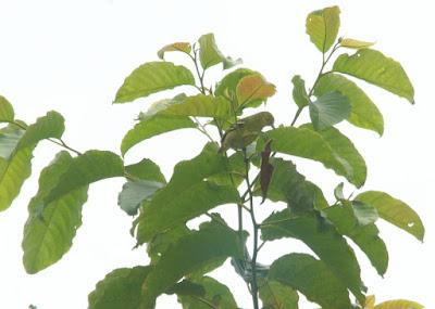 Green Iora (Aegithina viridissima)