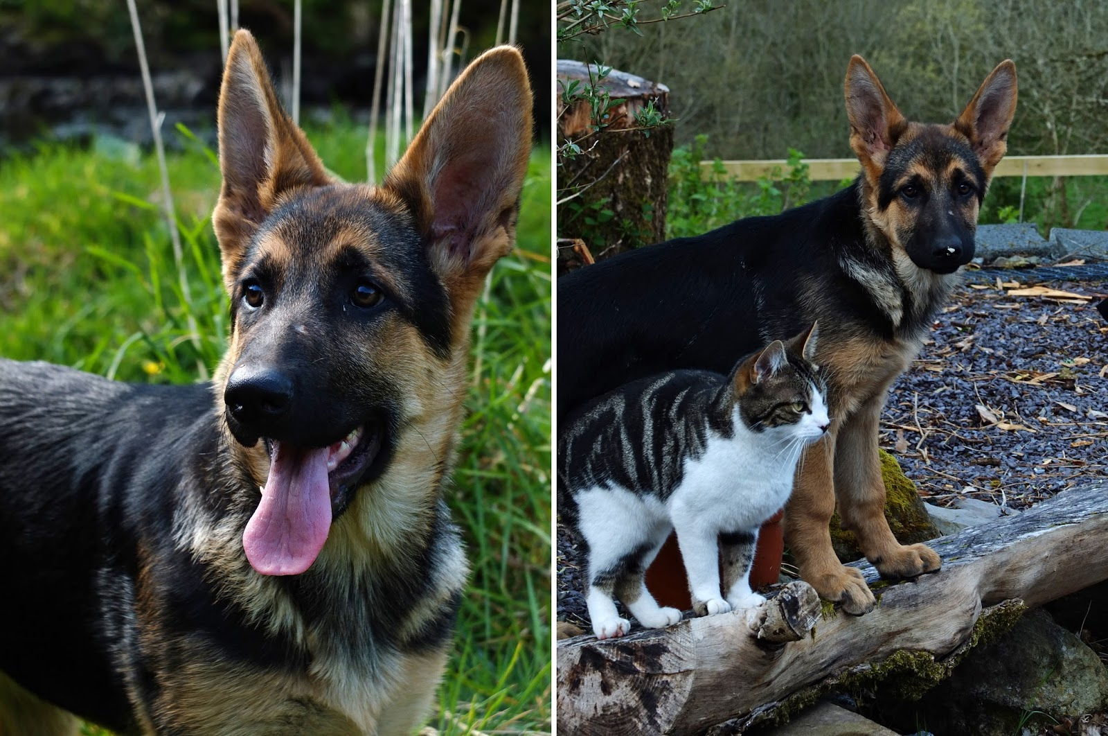 Collage of photos of a German Shepherd puppy and her new friend Sassy cat.