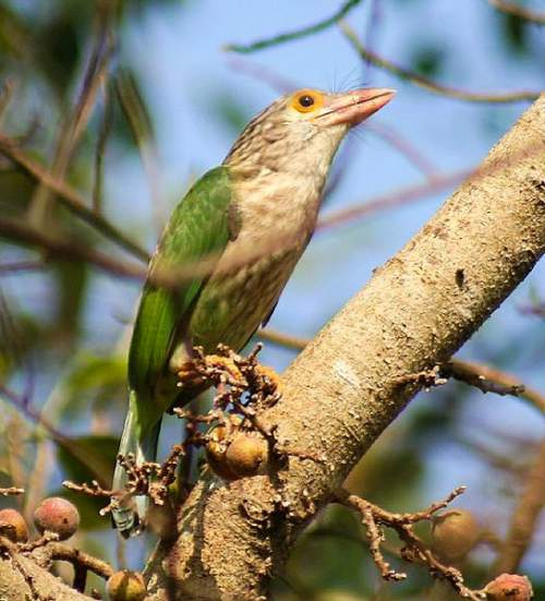 Birds of India - Photo of Lineated barbet - Psilopogon lineatus