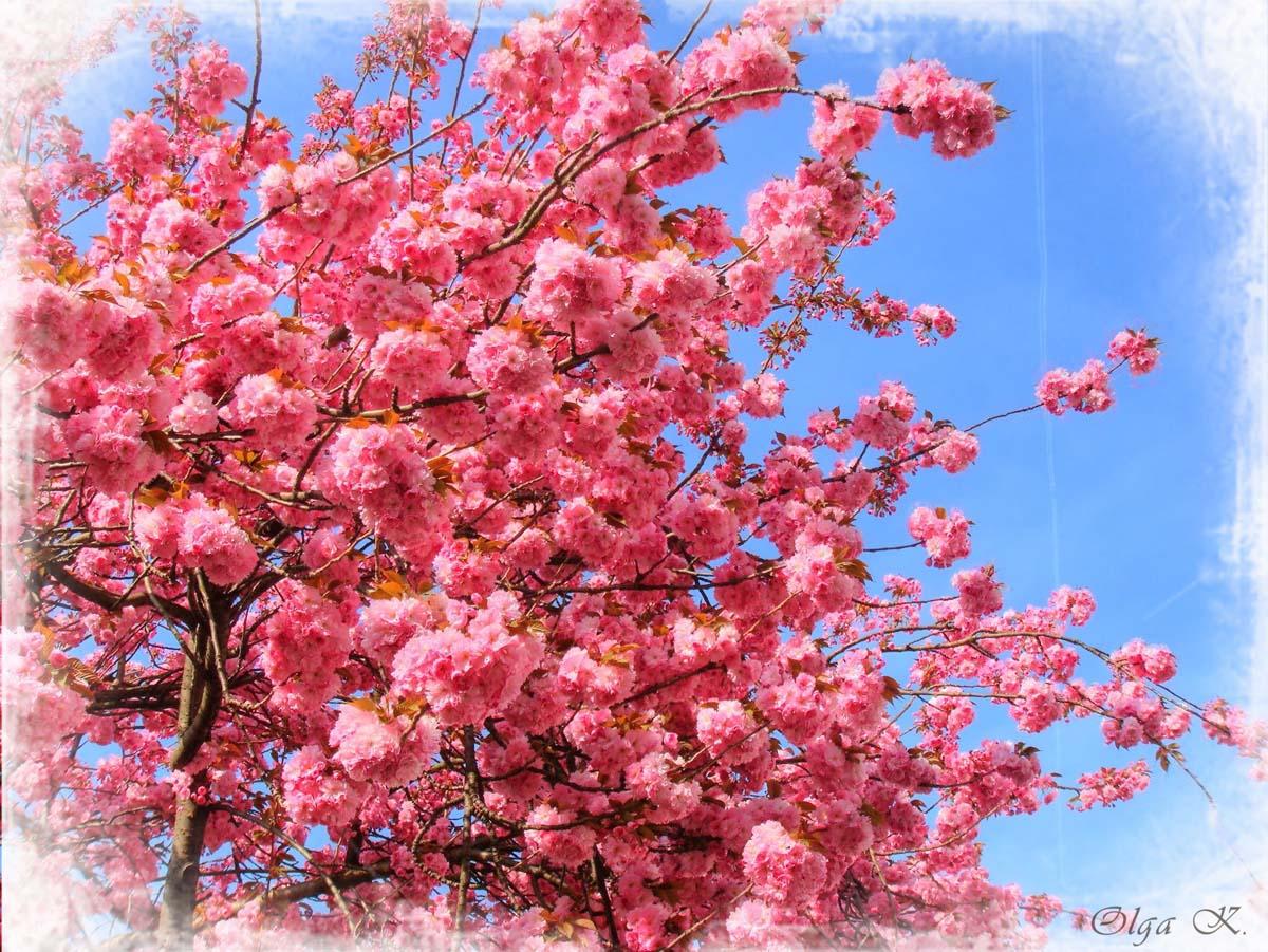 японская вишня фото