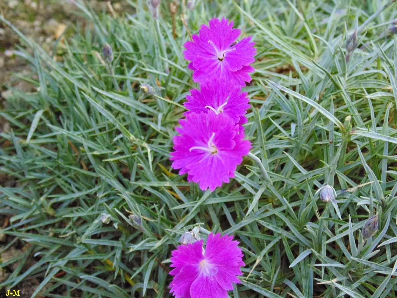 mon jardin en moselle: mes merveileux œillets