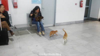 czarno-łaciaty kot na kolanach podróżnej, obok dwa rude