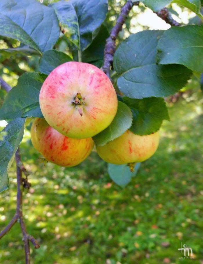 punaiset omenat puussa