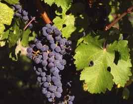 Polifenoles de la uva