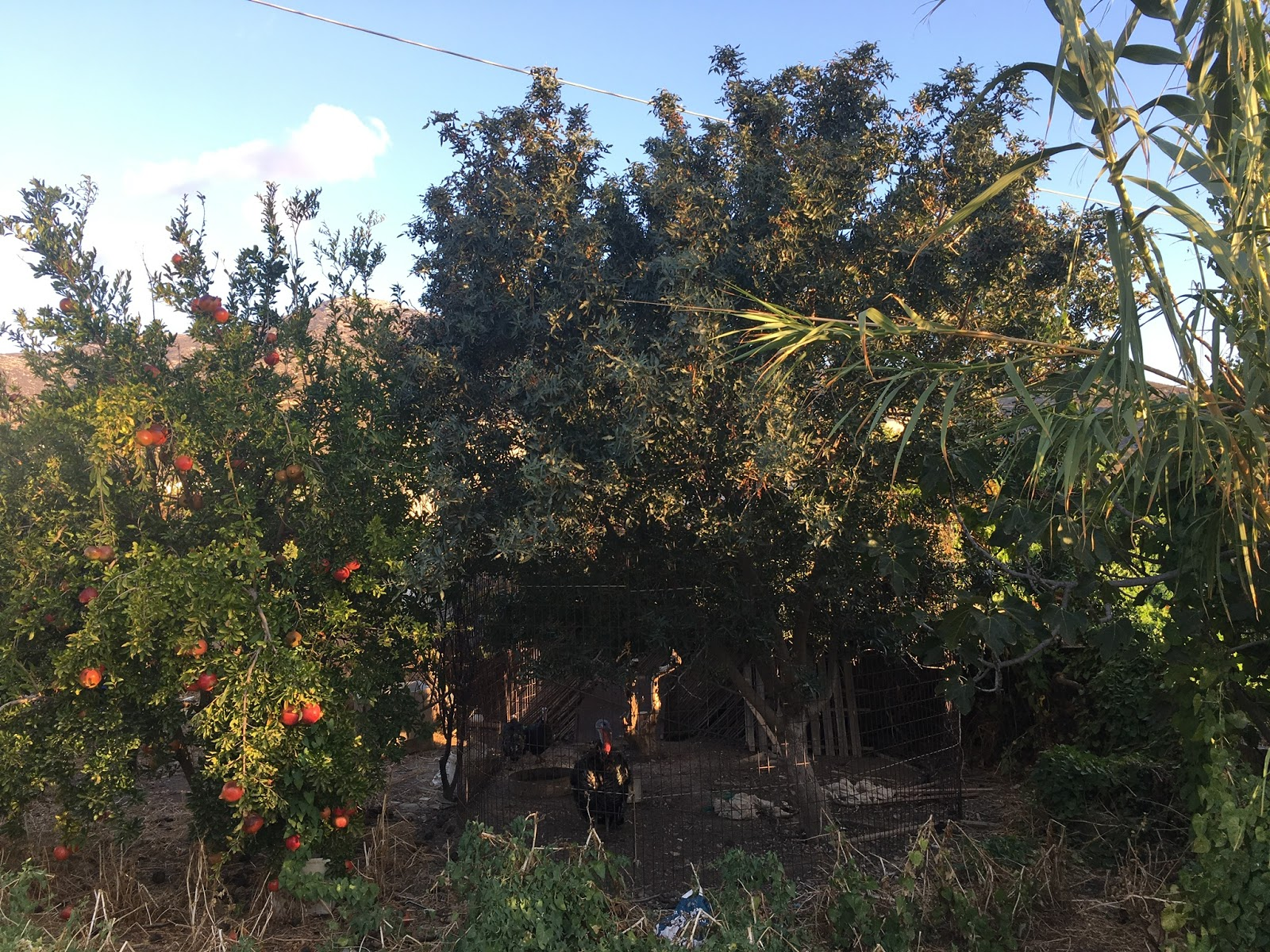 to see where it would lead us we ended up in a little backyard farm with pomegranate and olive trees roosters rabbits goats and of course chickens