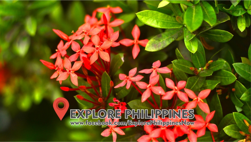 Health Benefits of SANTAN Heals Wounds, Anti-Diarrhea