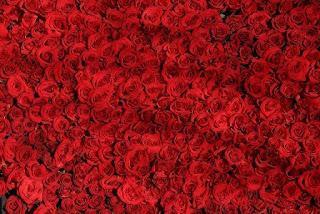 foto di belle rose per san valentino