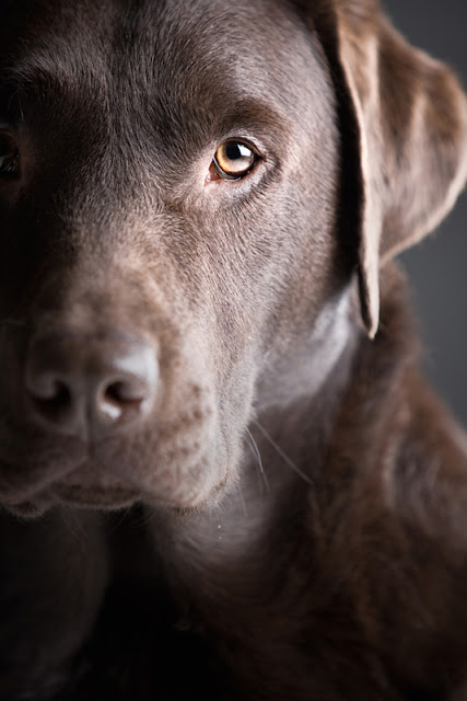 Series on positive reinforcement dog training, for dogs like this chocolate Lab