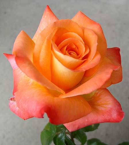 1052 best Orange Flowers images on Pinterest   Beautiful ...   Orange And Pink Roses